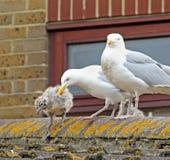 Seagull το μωρό λαμβάνει τα πρώτα μέτρα Στοκ φωτογραφίες με δικαίωμα ελεύθερης χρήσης