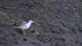 Seagull τρώει και απογειωμένος απόθεμα βίντεο
