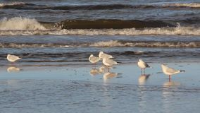 Seagull χαλαρώνει στην παραλία απόθεμα βίντεο