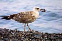 seagull χαλικιών Στοκ φωτογραφία με δικαίωμα ελεύθερης χρήσης