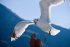 seagull χεριών τροφίμων πετάγματ&omicron Στοκ Εικόνα