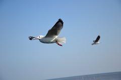 Seagull όμορφες θέσεις στο κτύπημα Poo Ταϊλάνδη Στοκ Φωτογραφίες