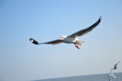 Seagull όμορφο Στοκ Εικόνες