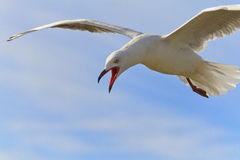 Free Seagull 04 Stock Images - 56155574