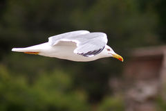 Seagull. Flying mew Stock Image