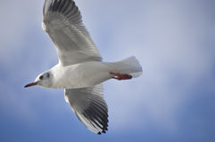 Seagull. Flying in a blue sky stock image