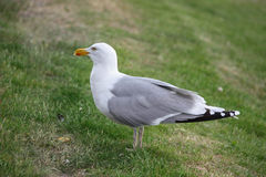 Seagull. Beautiful seagull standing on the grass royalty free stock photography