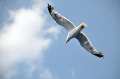 Seagull. Searching food with wings open Stock Images