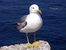 Seagull. On a cliff, ready to fly Stock Images