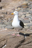 Seagull. Standing on ocean rocks royalty free stock photos
