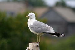 Seagull. Picture was made at Solovetskiy island Stock Photography