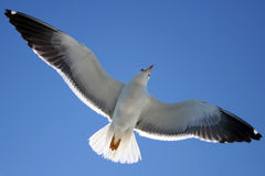 Seagull. Picture was made at Solovetskiy island Stock Photos
