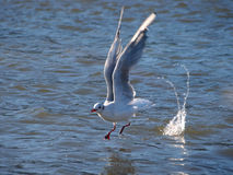 Seagull. Catching fish on river Stock Photos