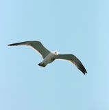 Seagull. A flying seagull, wings wide open Stock Photography