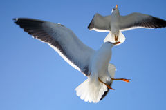 Seagull. Picture was made at Solovetskiy island Stock Images