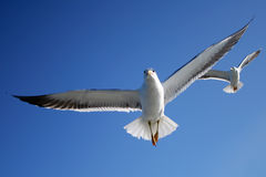 Seagull. Picture was made at Solovetskiy island Stock Image