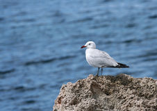 seagull Arkivbild