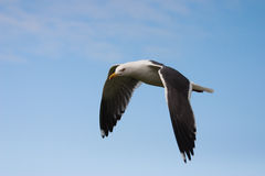 Seagull. On the blue sky Stock Images