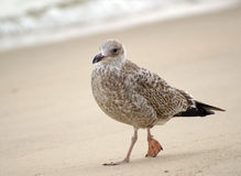Seagull. Grey seagull at a beach on the isle of Sylt which is under protection for it's multi-functional socio-economic nature Stock Photography
