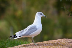 Free Seagull Stock Photography - 11352232