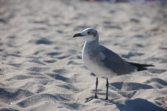 Seagull. Standing white - gray seagull in the sand Royalty Free Stock Photography