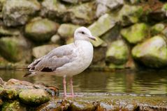 Seagull. The seagull in park of birds in China Stock Photography
