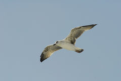 Seagull. A flying seagull, wings wide open Royalty Free Stock Photo