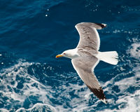 Seagull. Flying over blue water Royalty Free Stock Photo