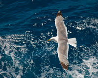Seagull. Flying over blue water background Stock Photos