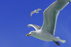 Seagull. In flight Stock Image