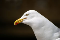 Seagull. A seagull Stock Photography