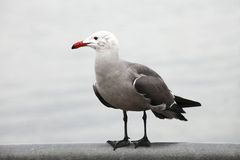 Seagull. Royalty Free Stock Image