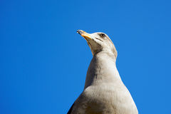 Seagull. Photo of an impressive seagull looking at the distance, taken from bellow Royalty Free Stock Photo