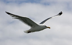 A Seagull. Soaring in the sky Royalty Free Stock Photos