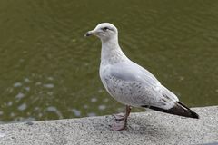 Seagull royaltyfria foton