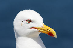 Seagull. In a sunny day royalty free stock images