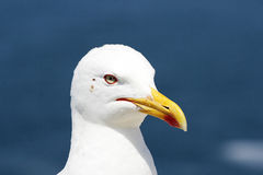 Seagull. In a sunny day Stock Images