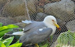 Seagull 4 arkivfoton