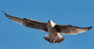 Seagull. In fully stretch of wings Royalty Free Stock Photo
