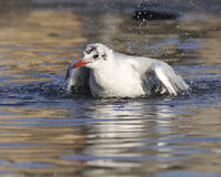 Seagull. Washing its feathers in a lake Stock Photos