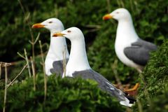 Seagull. Three sea gulls in the grass staring at left side stock image