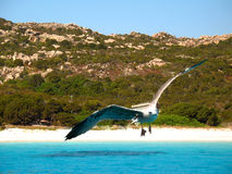Seagull. A seagull on a beach in Sardinia stock photography