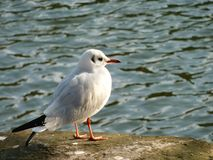 Seagull Royalty Free Stock Photos