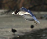 seagull Στοκ φωτογραφίες με δικαίωμα ελεύθερης χρήσης