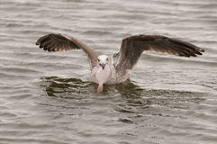 Seagull. A seagull with a flatfish Royalty Free Stock Photography