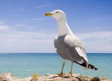 Seagull. In the beach in Turkey Royalty Free Stock Photography