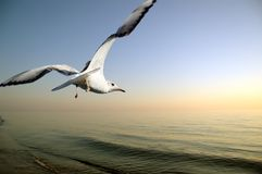 Seagull. Over sea at sunset sky Stock Photography