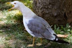Seagull royaltyfri bild
