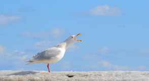 Free Seagull Royalty Free Stock Images - 13742369