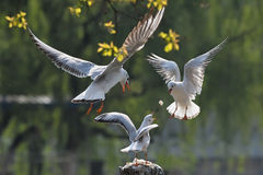 Free Seagull Royalty Free Stock Photography - 13957087